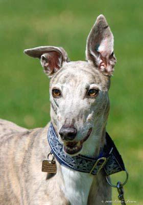 Blue Brindle Greyhound
