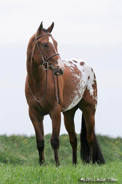 http://www.myhorse.ca/images/appaloosa.jpg