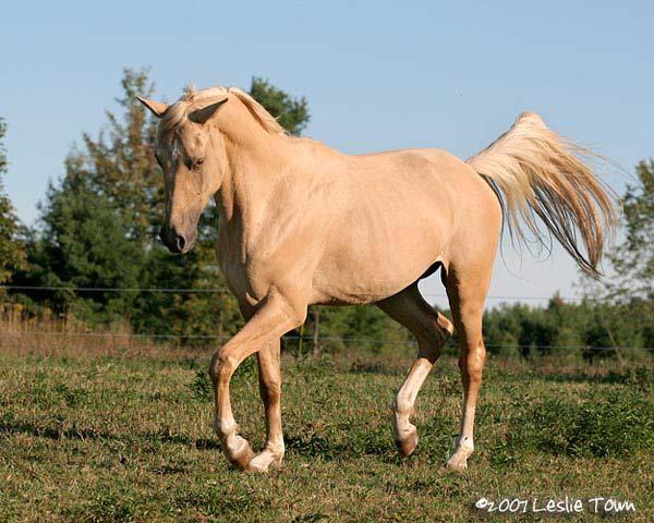 Bashkir Curly Amp Quarter Horse Cross