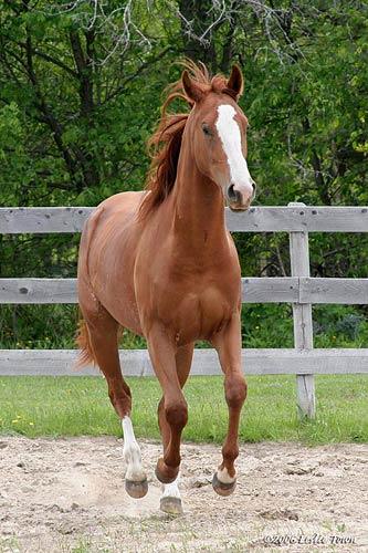 Trance's Tame horses  Chestnut-quarter-horse